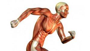 Muscolatura umana